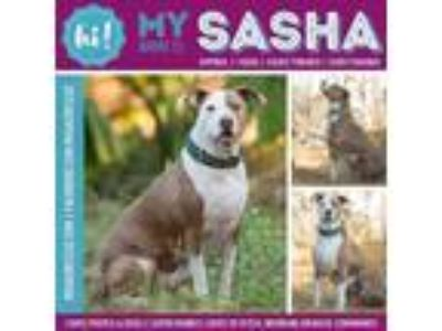 Adopt Sasha a Tan/Yellow/Fawn American Pit Bull Terrier / Mixed dog in New Port