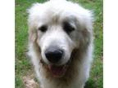 Adopt Wagner a Great Pyrenees
