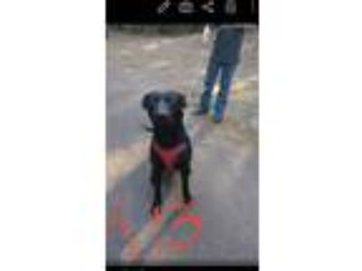Adopt Magic a Black Labrador Retriever / Mixed dog in Gilmer, TX (24463738)