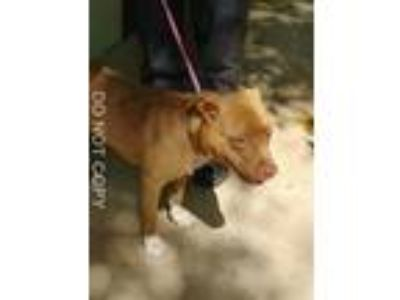 Adopt Leo a Brown/Chocolate - with White Pit Bull Terrier / Mixed dog in Rocky