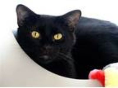 Adopt Alyosha a Domestic Short Hair