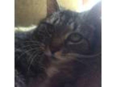 Adopt Vienna a Extra-Toes Cat / Hemingway Polydactyl, Tabby