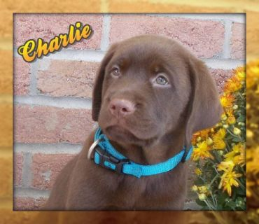 Charlie Male AKC Labrador Retriever