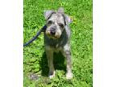 Adopt Noah a Standard Schnauzer / Mixed dog in Huntington, NY (25244029)