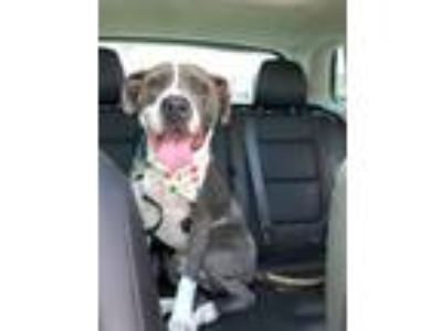 Adopt Bubba a American Staffordshire Terrier, Pit Bull Terrier