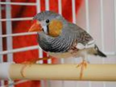 Adopt Atticus a Finch bird in Portland, OR (25154411)