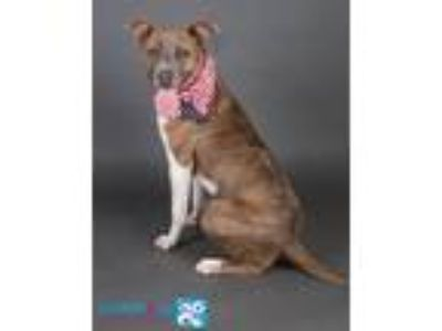 Adopt Jack a Pit Bull Terrier