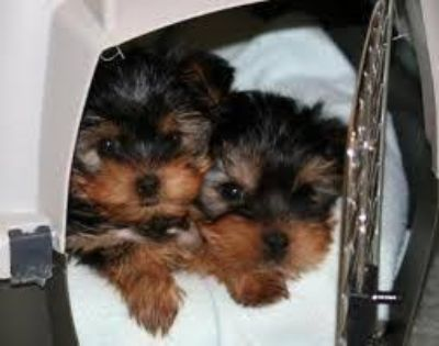 Registered Yorkie Puppies