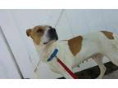 Adopt Rosie a Labrador Retriever, Pit Bull Terrier