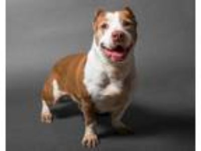 Adopt Shorty a Staffordshire Bull Terrier / Basset Hound / Mixed dog in San