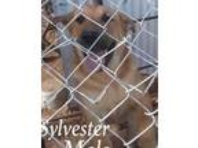 Adopt Sylvester a German Shepherd Dog, Shar-Pei