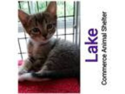 Adopt Lake a Domestic Shorthair / Mixed (short coat) cat in Commerce