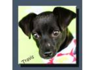 Adopt Travis *LOCAL* a Black - with White Terrier (Unknown Type