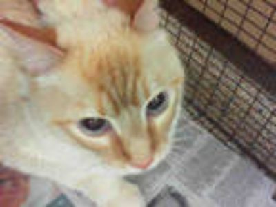 Adopt TUTI a Brown or Chocolate (Mostly) Siamese / Mixed (short coat) cat in