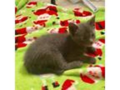 Adopt Sunny a Gray or Blue Domestic Shorthair cat in Woodstock, GA (25560033)