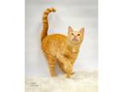 Adopt Alani a Domestic Short Hair
