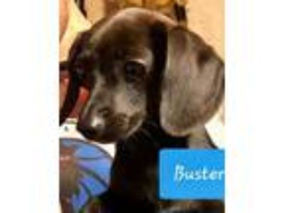 Adopt Buster *Applications Full Presently* a Dachshund