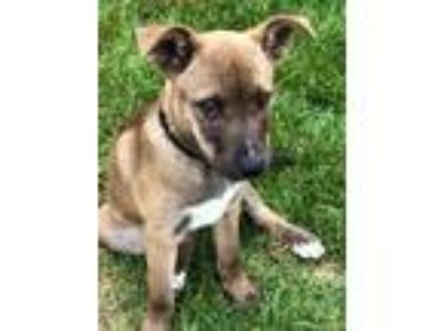 Adopt PATIENCE a Tan/Yellow/Fawn - with Black German Shepherd Dog / Labrador