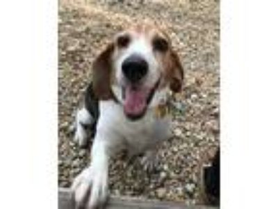 Adopt Simba a Tan/Yellow/Fawn Beagle / Mixed dog in Queenstown, MD (25893784)