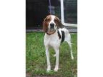 Adopt Bennie a Hound (Unknown Type) / Mixed dog in Pittsburgh, PA (25633073)