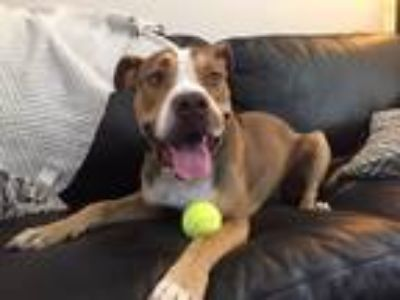 Adopt Bucky a Tan/Yellow/Fawn - with White American Staffordshire Terrier /