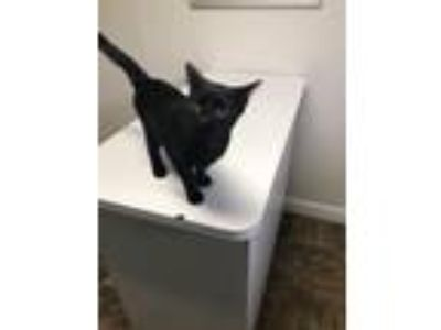 Adopt Ocean Kittens a All Black Domestic Shorthair / Mixed (short coat) cat in