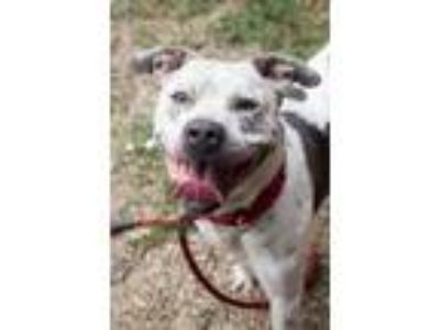 Adopt Ryvyr 142 a White American Pit Bull Terrier / Mixed dog in Cleveland