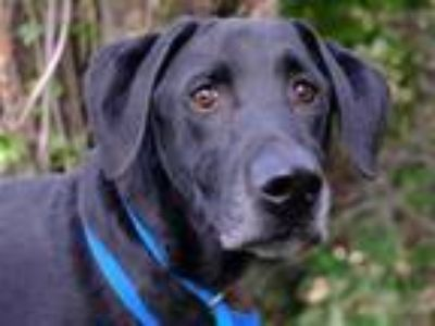 Adopt TANK a Black Labrador Retriever / Mixed dog in Denver, CO (25314113)