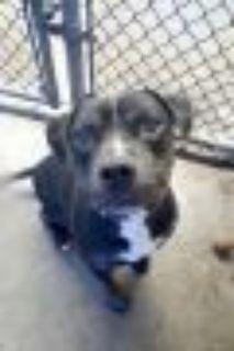 Elton Pit Bull Terrier Dog