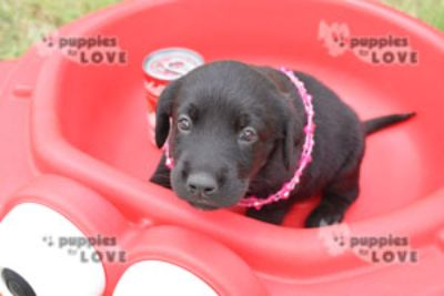 Labrador Retriever PUPPY FOR SALE ADN-87461 - AKC  FULL REGISTRATION