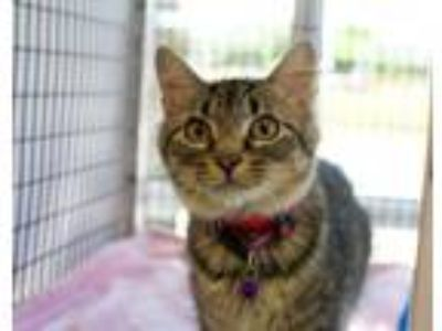 Adopt Penny a Domestic Medium Hair