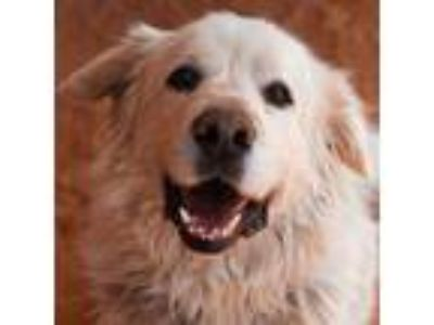 Adopt Mr. Buddy a Great Pyrenees