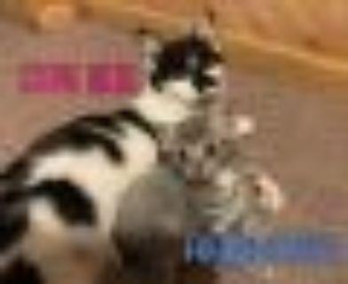 Stevie Nicks & Freddie Mercury (Bonded) Torbie - American Shorthair Cat