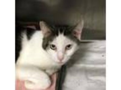 Adopt Gypsy a Domestic Short Hair
