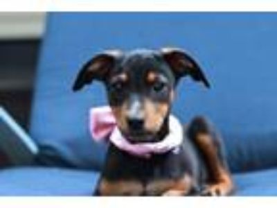 Adopt Miss Kitty a Labrador Retriever, Terrier