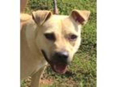 Adopt Dee a Tan/Yellow/Fawn American Pit Bull Terrier / Mixed dog in Newberry
