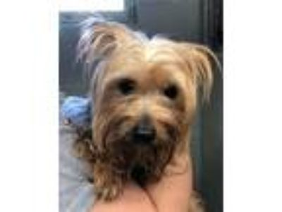 Adopt Crystal a Yorkshire Terrier