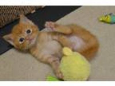 Adopt Paprika a Orange or Red Domestic Shorthair / Mixed (short coat) cat in