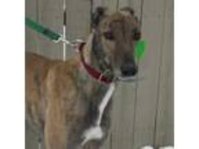 Adopt RIO HARD DRIVE a Brindle Greyhound / Mixed dog in Grandville