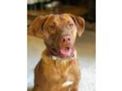 Adopt Flash a Red/Golden/Orange/Chestnut Labrador Retriever / Vizsla / Mixed dog