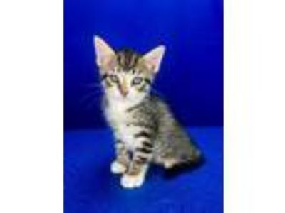 Adopt Biggie Smalls (The Notorious C.A.T) a Domestic Short Hair