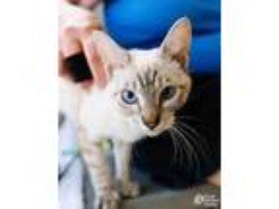 Adopt Radical Tigress a White Domestic Shorthair / Domestic Shorthair / Mixed