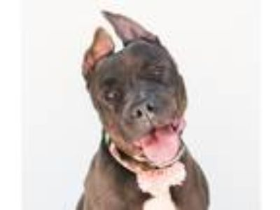 Adopt Gwen a Black - with White American Pit Bull Terrier / American Pit Bull