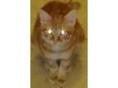 Adopt Garifeild a Orange or Red American Shorthair / Mixed cat in Ellenwood