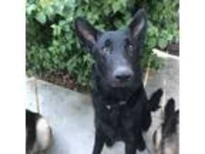 Adopt Onyx a Black German Shepherd Dog / Mixed dog in Martinez, CA (25885533)