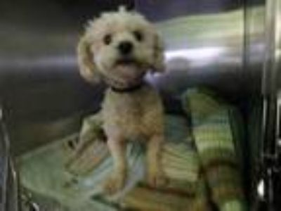 Adopt COLOCHA a Mixed Breed, Poodle