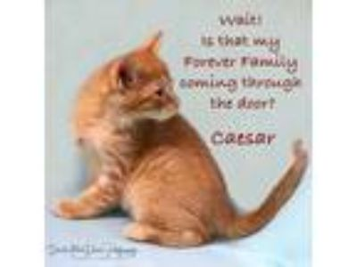 Adopt Ceasar a Orange or Red Tabby Domestic Shorthair / Mixed cat in