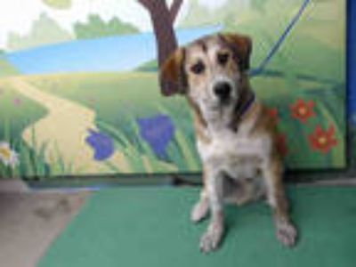 Adopt SHERWOOD a Brown/Chocolate - with White Collie / Husky / Mixed dog in