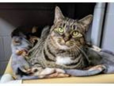 Adopt Gracie a Domestic Shorthair / Mixed (short coat) cat in Boone