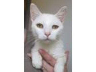 Adopt Adora a Domestic Short Hair